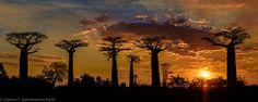Baobabs au Soleil couchant, Madagascar   Flickr - Photo Sharing!