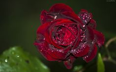 Bordowa Róża, Kwiat, Krople