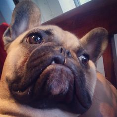 """""""Oh yeah""""... """"come over here and say that"""", Toby, the French Bulldog Puppy, @tobychews on instagram"""