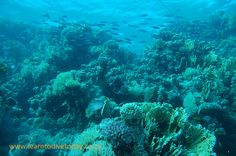 Fusiliers and coral at Sha'ab Abu Nuhas, Red Sea