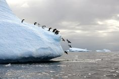 Antarctica is home to four species of penguins. The animals are excellent…