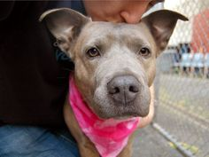 ***SUPER-URGENT!! |SHE'S A LOVEBUG WHO WAS LOVED NOT JUST A STRAY! WE HAVE TO GET HER OUT OF HERE PLEASE!!!***Manhattan Center  My name is NAHLA. My Animal ID # is A1002828. I am a female br brindle and white pit bull mix. The shelter thinks I am about 3 YEARS old.  I came in the shelter as a STRAY on 06/11/2014 from NY 10034, owner surrender reason stated was STRAY.