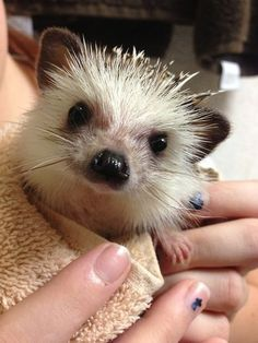 sweetie hedgehog.