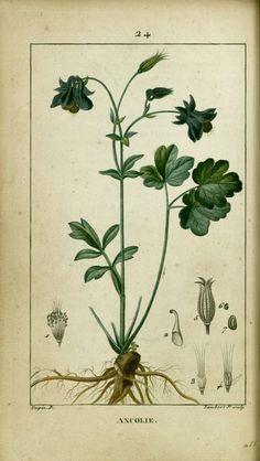 gravure botanique ancolie | ancolie - gravure ancienne couleur de flore médicale