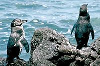 Galapagos Penguin, Elizabeth Bay, Isabela Island, Galapagos