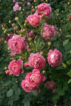 'Jubilee Celebration' | Shrub.  English Rose Collection. Austin 1998 | @ Oliver
