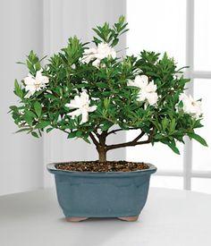 White flowering Gardenia bonsai plant