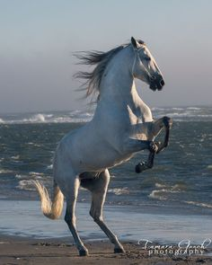 Andalusian stallion mix in the pacific ocean © Tamara Gooch Photography Beautiful Arabian Horses, Most Beautiful Horses, Majestic Horse, Animals Beautiful, Cute Horses, Pretty Horses, Horse Love, Horse Rearing, Andalusian Horse