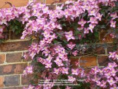 Image result for clematis montana freda Clematis Montana, Floral Wreath, Wreaths, Flowers, Plants, Image, Floral Crown, Door Wreaths, Deco Mesh Wreaths