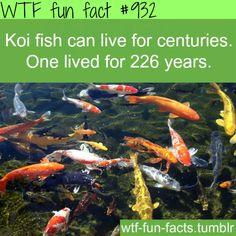 Koi original acrylic painting auspicious koi pond series for Koi fish habitat