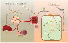 Procesele din intestin care duc la acumularea de grasime in jurul taliei | STUDIU | Medlife