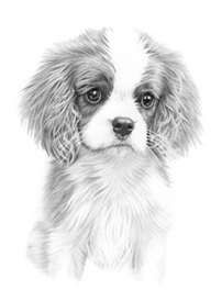 Explore collection of Cavalier King Charles Spaniel Drawing Cavalier King Charles Dog, King Charles Spaniel, Animal Sketches, Animal Drawings, Dog Portraits, Dog Art, Dog Life, Cute Animals, Cavapoo