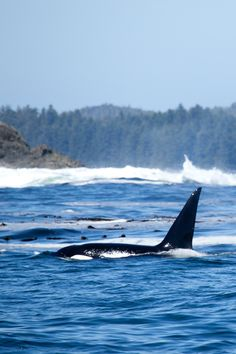 Whales at Clayoquot Wilderness Resort on Vancouver Island