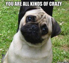 Crazy! #pugs #puginvasion #pugfanatic