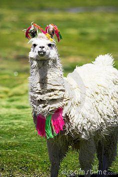 Llama, Bolivia by Edyta Pawlowska