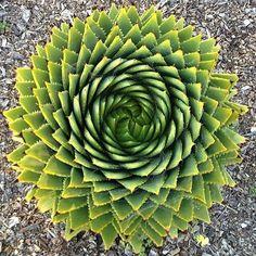 Nature Fibonacci