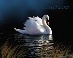 Hey, I found this really awesome Etsy listing at https://www.etsy.com/il-en/listing/73415319/swan-art-swan-painting-swan-print