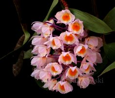 Orchid Hariotiana | Dendrobium amabile (March 17, 2011)