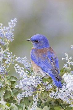 Western Bluebird in California Lilac by Bill Leaman