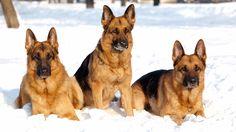 german shepherd dogs in winter time hd wallpaper