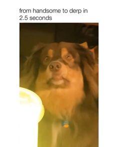 Cute Funny Dogs, Cute Funny Animals, Cute Animal Videos, Cute Animal Pictures, Funny Animal Jokes, Animal Memes, Cute Dogs And Puppies, Doggies, Funny Dog Videos