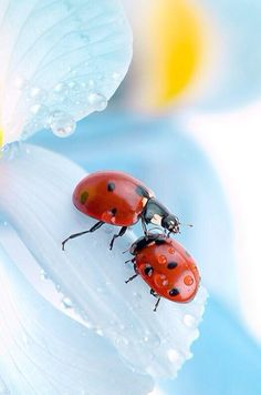 If a lady bug lands on you, something wonderful will happen to you. Beautiful Creatures, Animals Beautiful, Cute Animals, Beautiful Bugs, Amazing Nature, Lady Bug, Photo Coccinelle, Photo Animaliere, Fotografia Macro