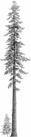 Sequoias vs. Redwoods: Comparing Giant Trees | Sequoia Nat'l Forest & Giant Sequoia | Oh, Ranger!