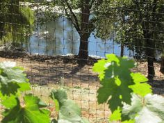 Two more years to go to have wine-making grapes. http://www.napaandbordeaux.com