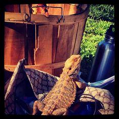 Bearded Dragon Reptiles, Amphibians, Dragon Family, Tortoises, Bearded Dragon, Dragons, Pets, Board, Fun