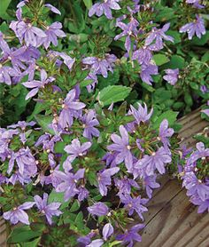Scaevola, Fancy. Marty loved having this in the garden last summer.