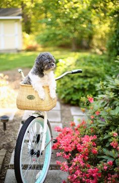 Don't let him fall out! This sweet puppy inside a bike basket is just too cute! Find similar baskets at www.BasketLady.com