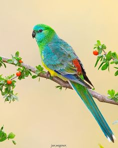 Red-rumped Parrot • They always look just green from further away, but reveal stunning colours up close Cute Birds, Pretty Birds, Beautiful Birds, Colorful Parrots, Colorful Birds, Tropical Birds, Exotic Birds, Bird Pictures, Animal Pictures