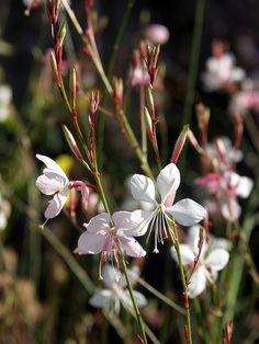 Lindheimer's Bee Blossom 'The Bride' (Gaura lindheimeri)