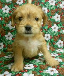 Ike is an adoptable Yorkshire Terrier Yorkie Dog in Niles, IL. Iggy, Ike, Indy, and Irwin are adorable 7-8 week old pups. Their human mom said they are part Yorkie, Chihuahua, and Boxer. They are very...
