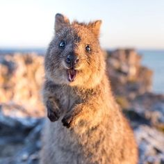 """""""I like to call this look my weekend face!""""   This cute quokka on @rottnestislandwa seems pretty pumped that it's Friday, but to be honest these critters genuinely look stoked all of the time; life on 'Rotto' in @westernaustralia is pretty awesome, after all. They're super friendly too so don't be alarmed if one hops right up to say g'day. Photo: @daxon"""