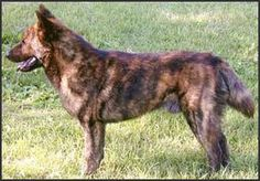 The Kai Ken is a medium size dog. Larger than a shiba but smaller than an Akita, it stands about 20 inches at the shoulder