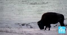 For the First Time in a Century, THIS Animal is Finally Being Returned to Banff National Park
