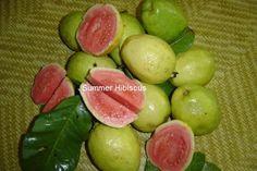 Psidium guajava GUAVA FRUIT TREE | Summer Hibiscus