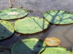 Plantas acuáticas no Rio Negro - Amazonas
