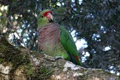 Vinaceous-breasted (Amazona vinacea) parrot in trouble: