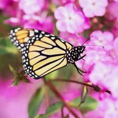 Attract Butterflies:  Phlox