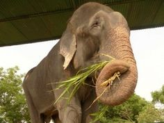 Elephant abuse is widespread in Asia - GrindTV.com
