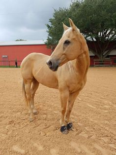Triggers Devil (Rocket) is a 11 year old, palomino gelding. I bought him as a 7 year old from a girl who bought him off the track. His race videos and pedigree is available on equibase. He was just started on barrels when I bought him but I've been with him the majority of his barrel journey.