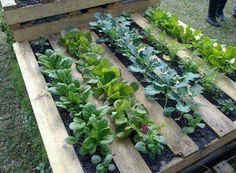 Hate weeding? Love gardening and having fresh veg? Fill a palate w dirt and there's no need to till up the soil. U can even stack them if u rip the boards from underneath.  Love this!