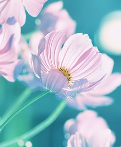 Cosmos | by Beauty on 500px