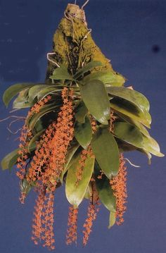 http://www.parksideorchids.com/images/Misc/Microterangis%20hariotiana.JPG