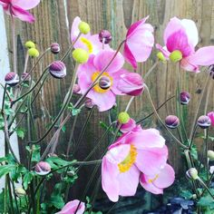 These flowers are so beautiful and relaxing to watch when they blow in the breeze. Very mindful & another reminder to stop for 5 minutes. Building Raised Beds, Raised Garden Beds, Anenome Flower, Hair Trap, Flower Room Decor, Japanese Anemone, Planting Plan, Textures And Tones, Light Reflection