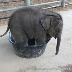 Bebek fil leğende