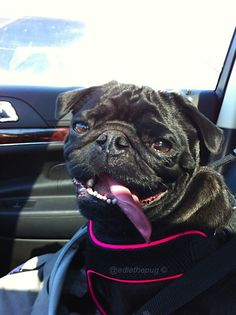 Dog Days of Summer Safety - Car Safety  The importance of securing your dog when taking them in the car. #sp