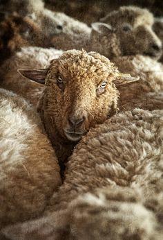 Dan Routh Photography: Shearing Week 2012 at Rising Meadow